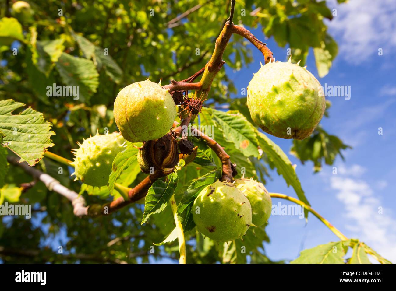 Horse Chestnuts on a Horse Chestnut tree, Vale of Evesham, UK. - Stock Image