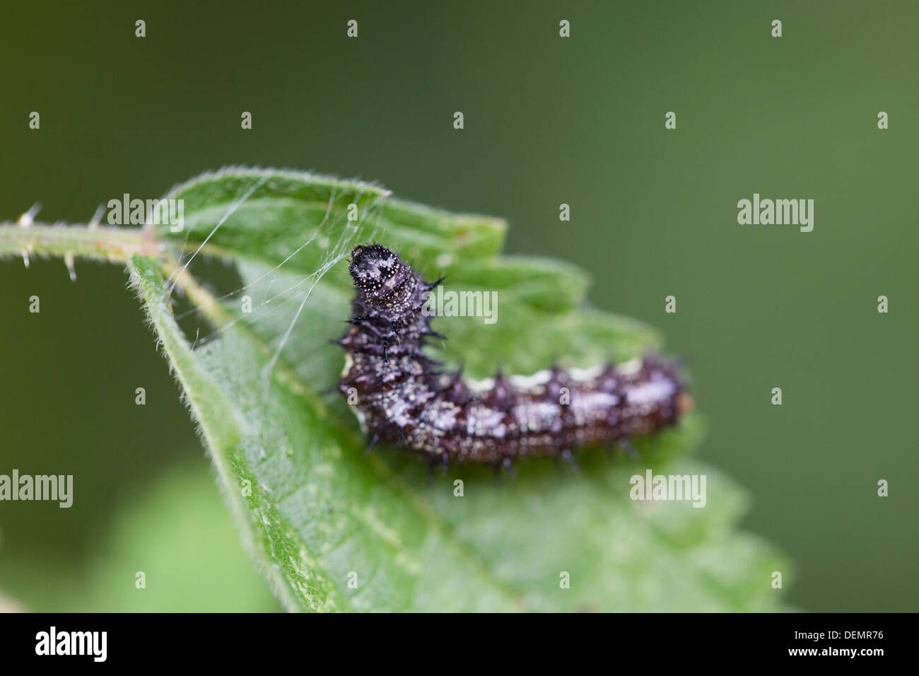 Red Admiral Caterpillar; Vanessa atalanta; UK - Stock Image