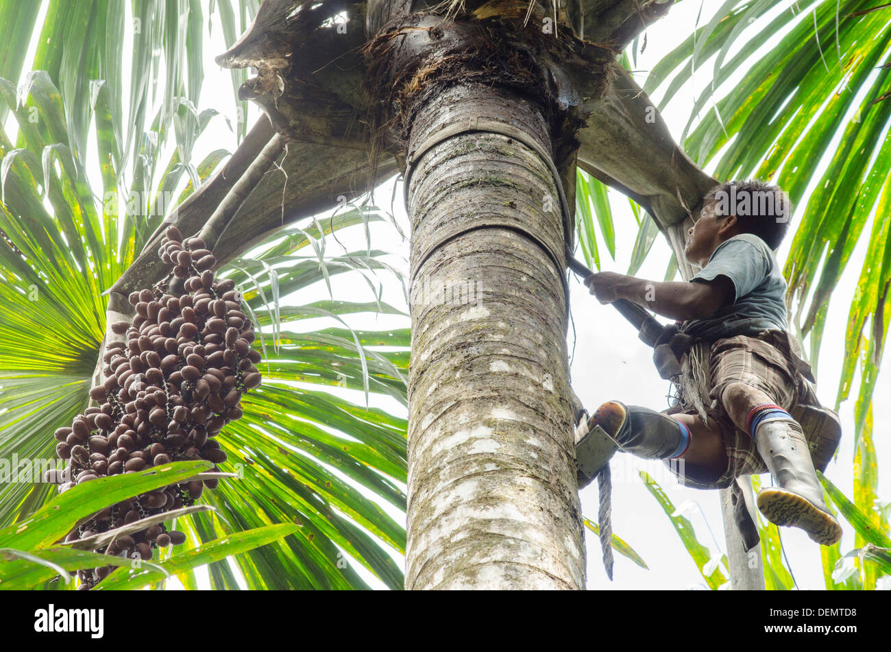 Sustainable palm harvesting by climbing Aguaje or Buiti Mauritia flexuosa, Rio Napo, Amazonia, Peru - Stock Image