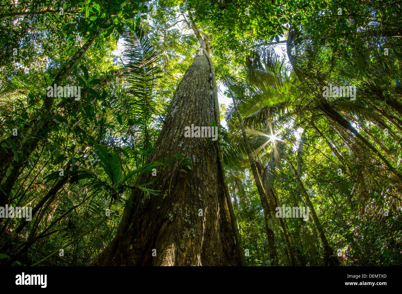 Rainforest Timber Tree High Resolution Stock Photography and Images - Alamy