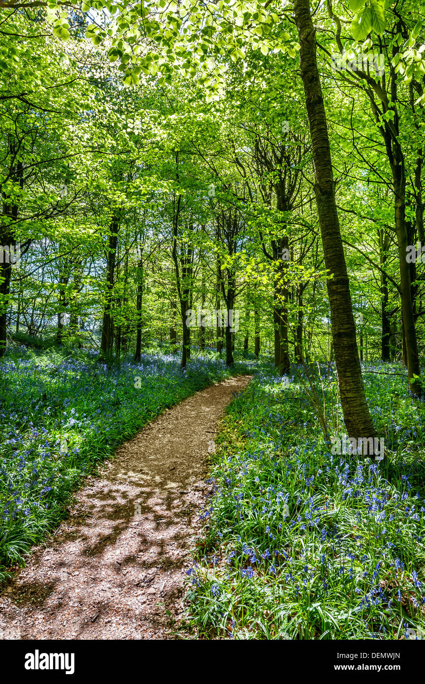 mariners hill Westerham Kent England UK Europe bluebell bluebells flowers spring carpet path wood forest green fresh new - Stock Image