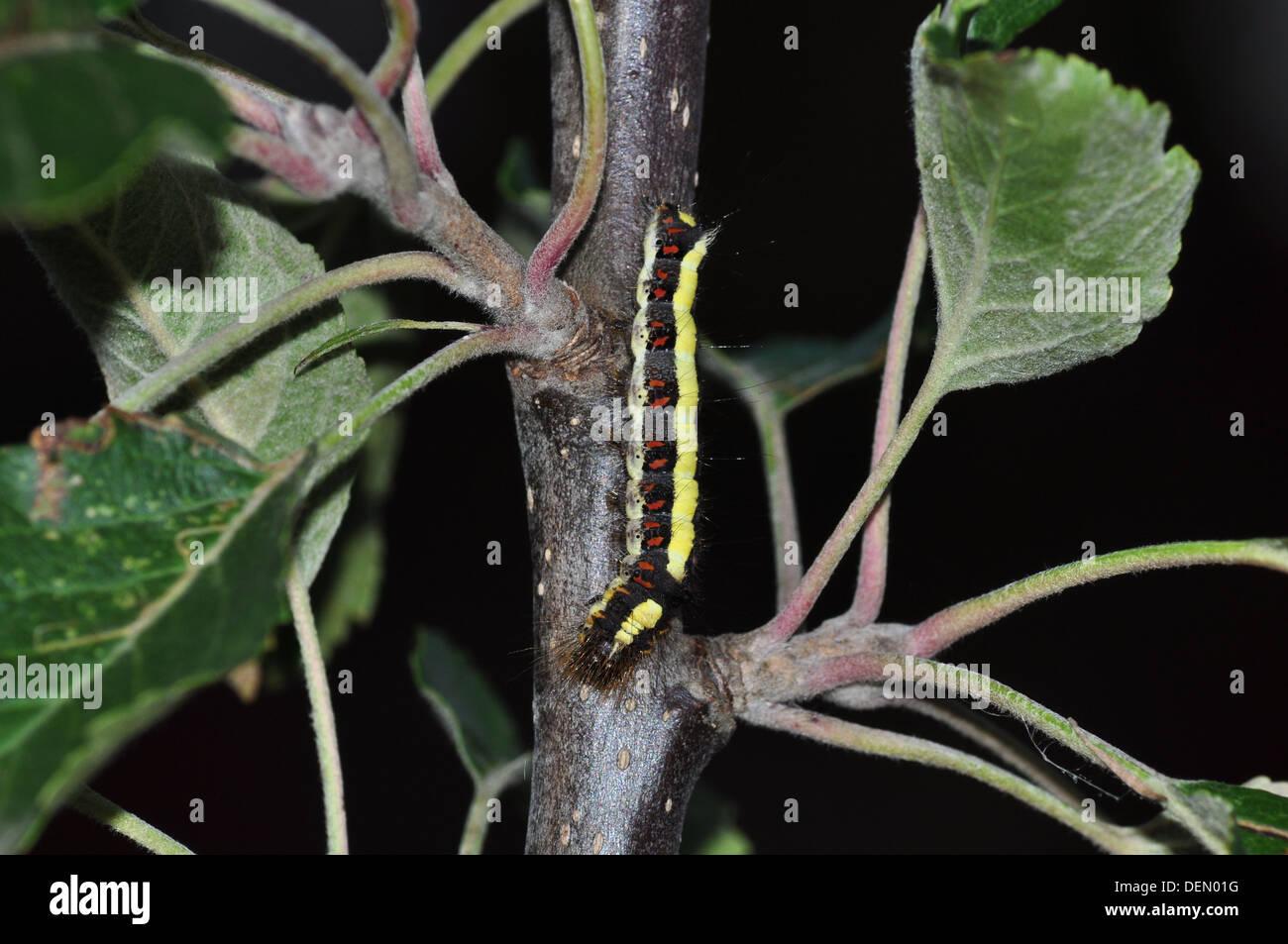 Grey Dagger catterpillar (Acronitcta psi) - Stock Image