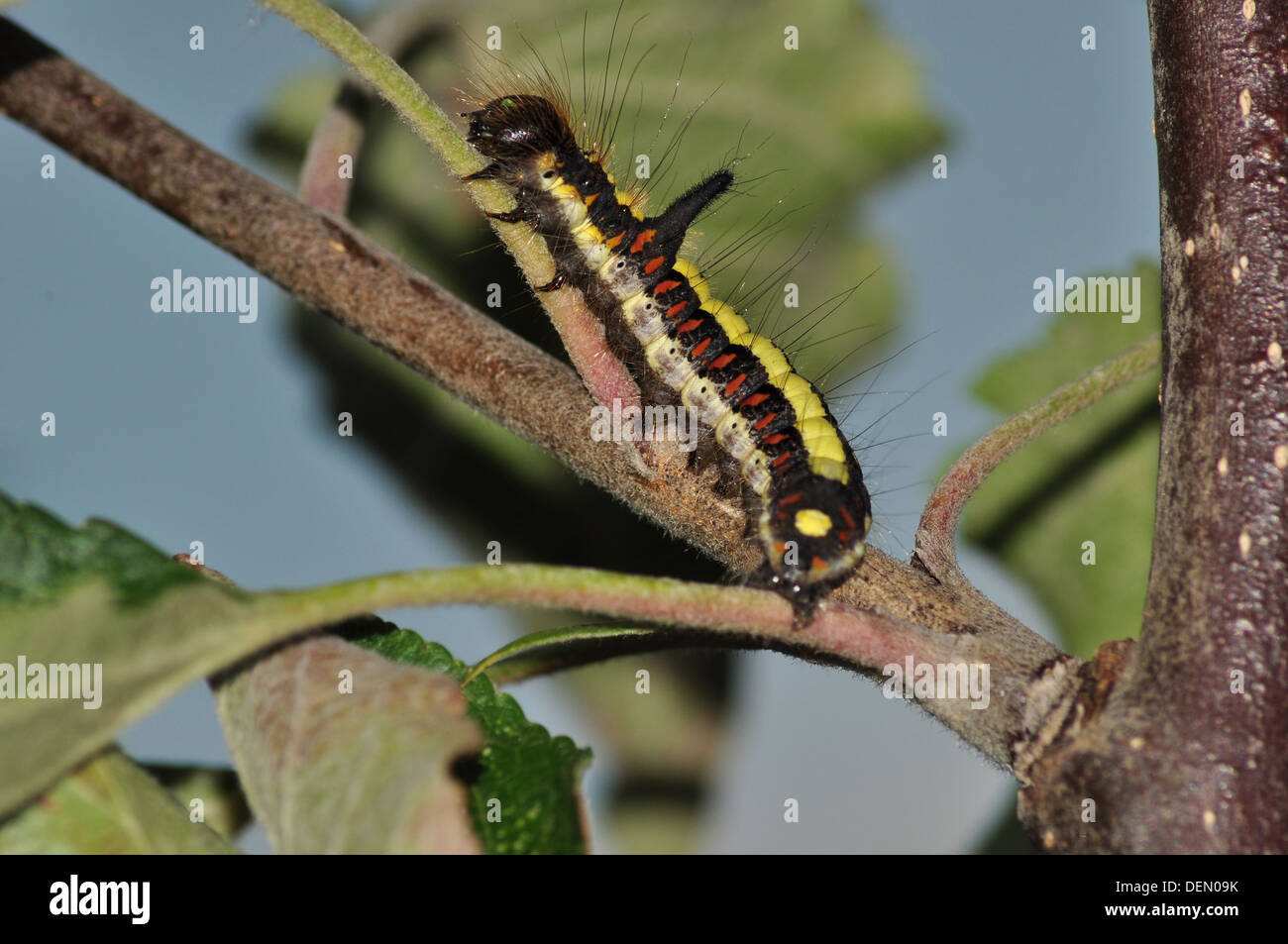 Grey Dagger catterpillar (Acronitcta psi) uk - Stock Image