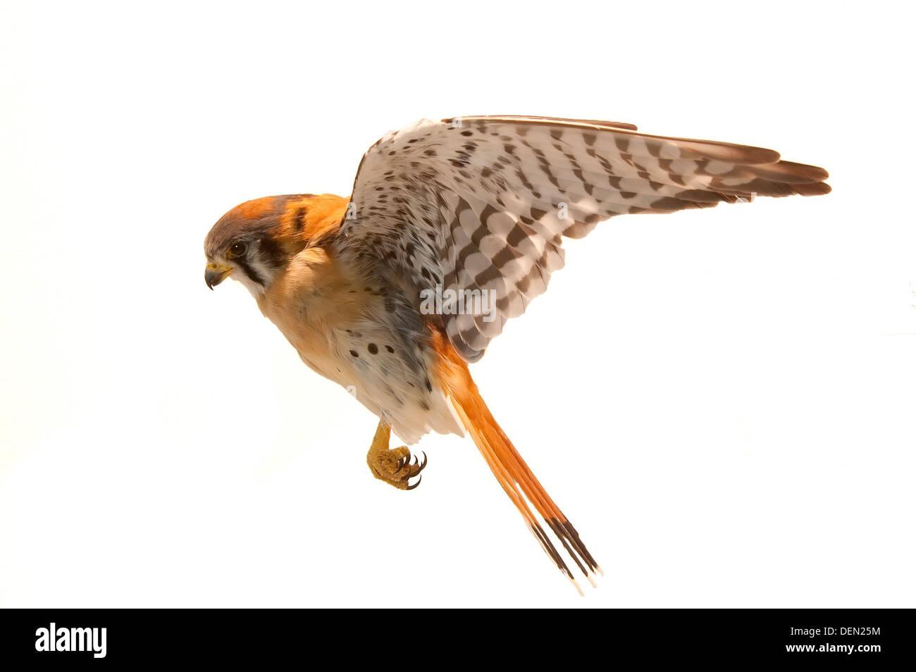 American Kestrel, Falco sparverius in mid air - Stock Image