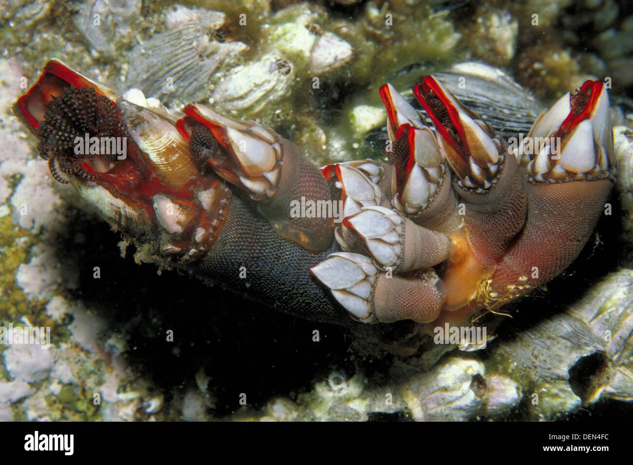 Barnacle (Pollicipes cornucopia) - Stock Image