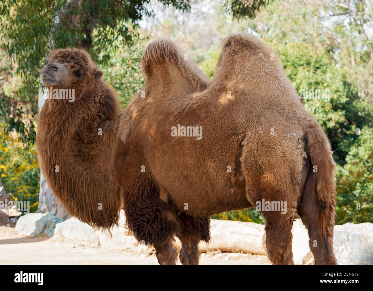California, San Diego Zoo, two hump Bactrian camel (Camelus bactrianus) - Stock Image