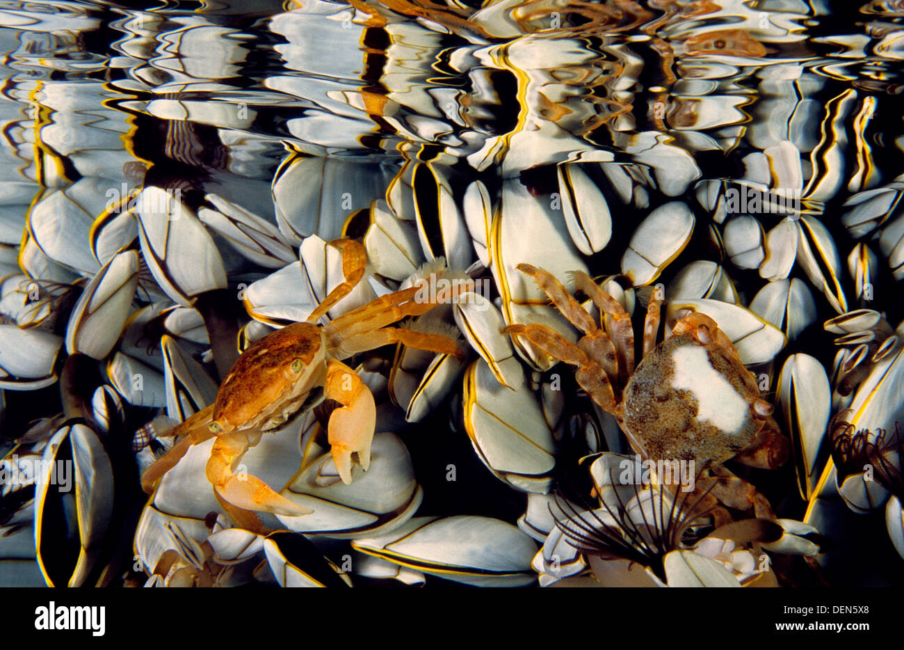 Oceanic crab (Pinoferes pinofrese) in the middle of Gooseneck barnacle (Lepas anatifera), Atlantic Ocean, Azores, Portugal - Stock Image