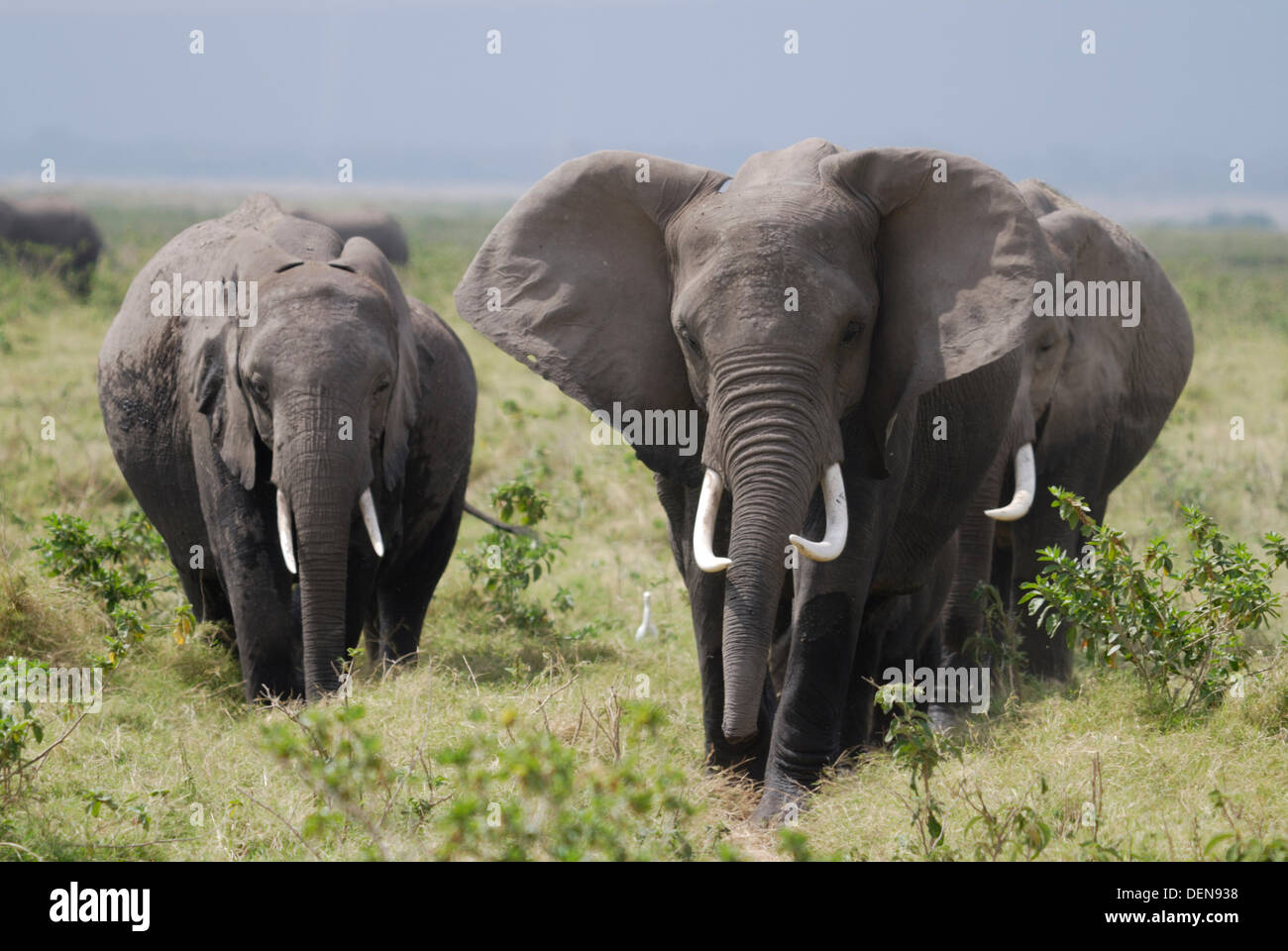 Herd of African Bush Elephant or African Savanna Elephant (Loxodonta africana). Amboseli National Park. Kenya. Africa - Stock Image
