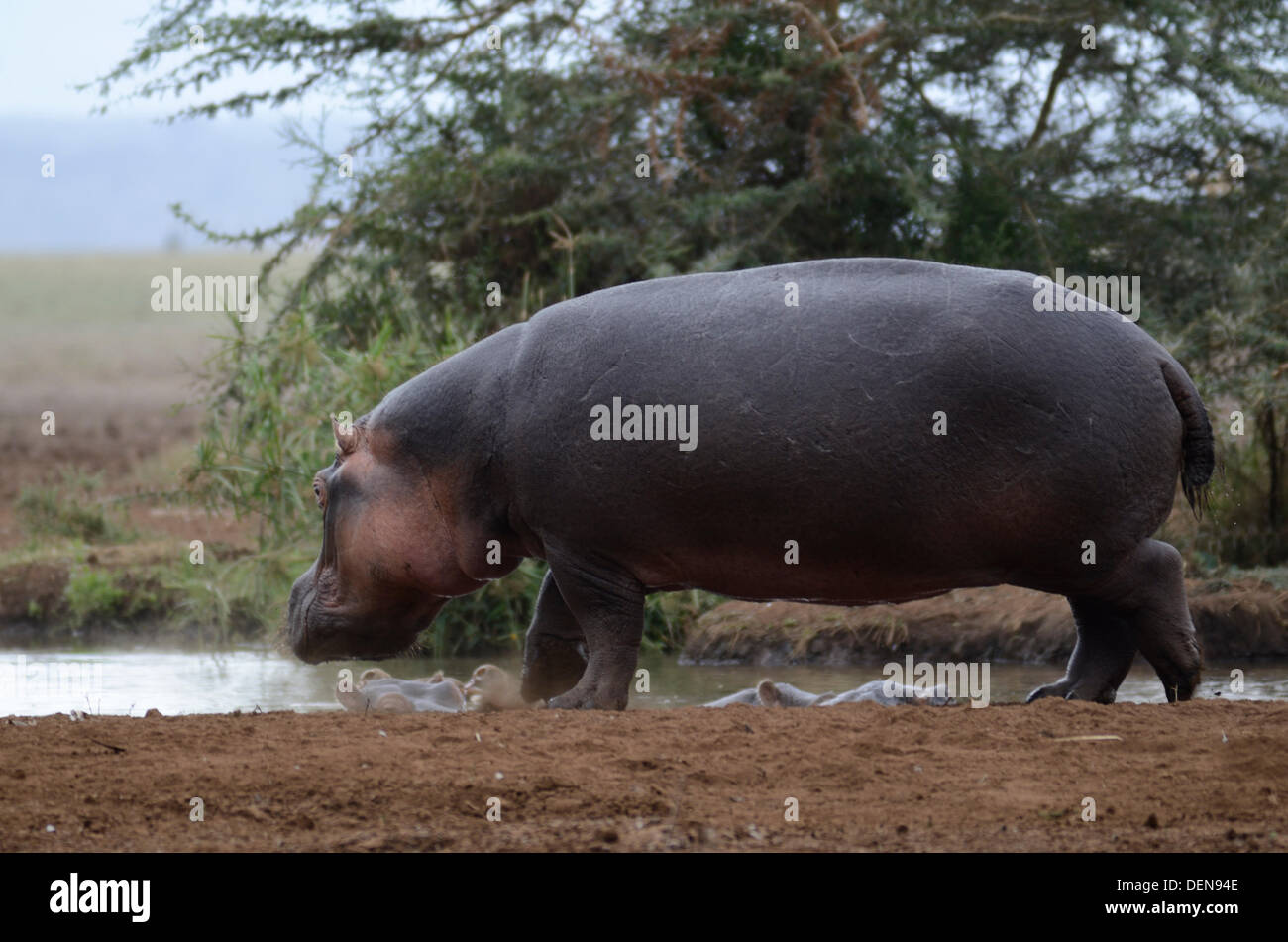 Hippopotamus (Hippopotamus amphibius), or hippo. Lake Manyara National Park, Tanzania, East Africa - Stock Image
