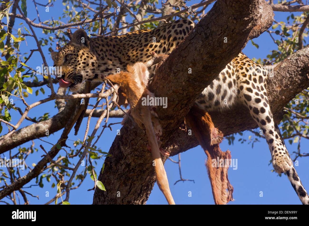 Leopard (Panthera pardus) feeding on impala stashed high in a tree, Londolozi, Sabi Sand, South Africa. - Stock Image