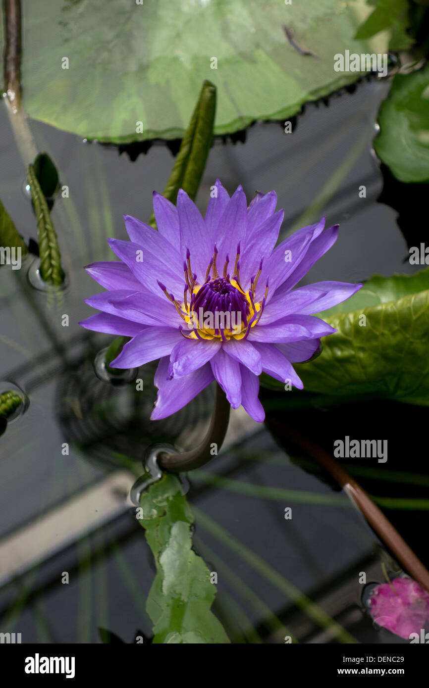 Director George T Moore - Nymphaea Water Lily - Stock Image