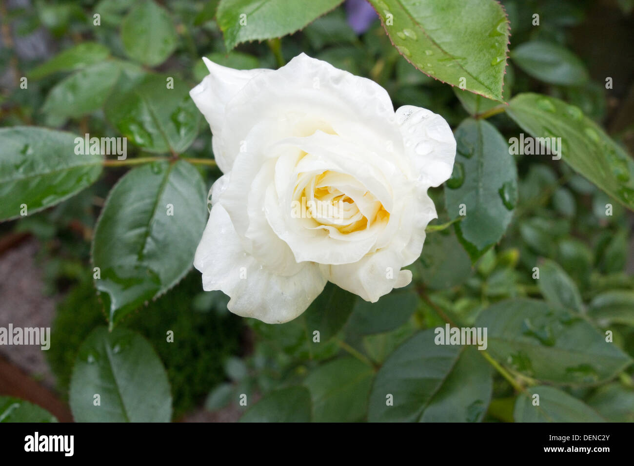 Yellow Patio Climbing Rose - Summertime -1 - Stock Image