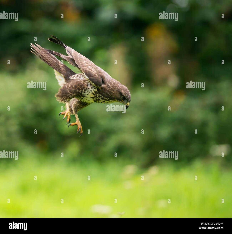 Wild Common Buzzard, Buteo buteo swooping down on unaware prey - Stock Image