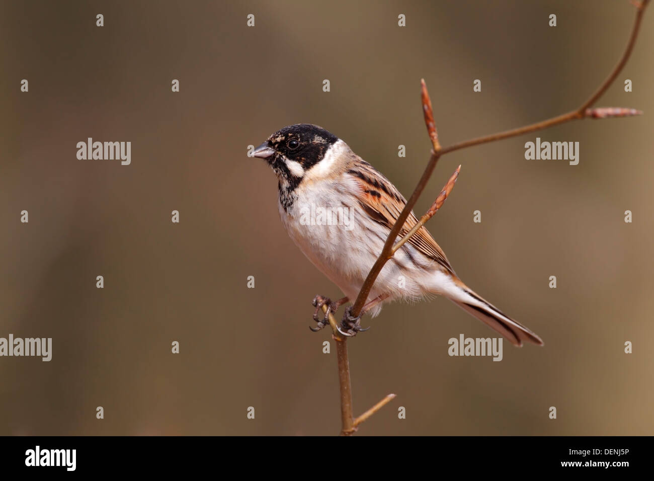 common reed bunting (Emberiza schoeniclus) adult male perched on branch, Norfolk, England, United Kingdom - Stock Image