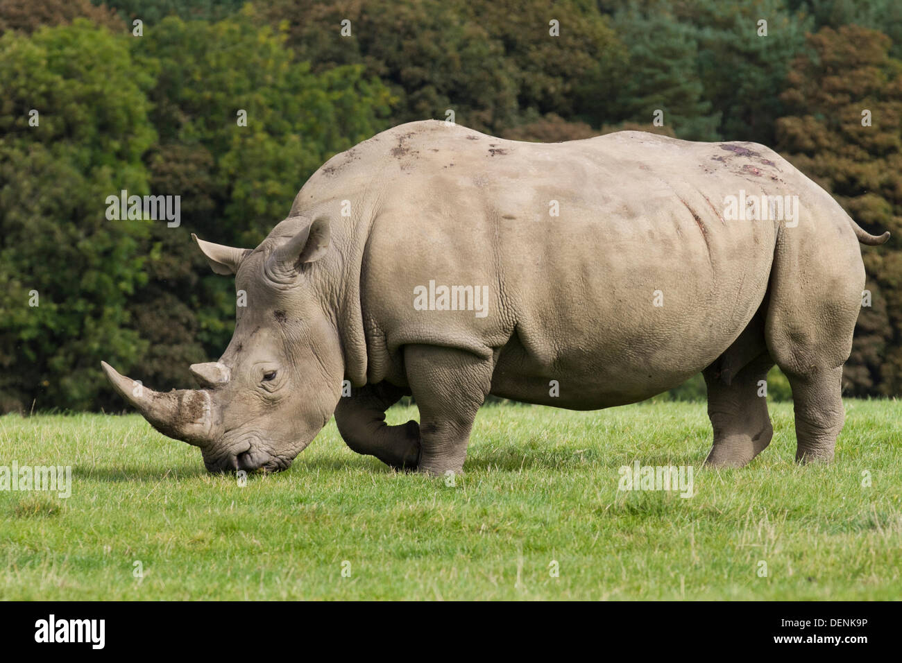 Knowsley Safari Park World Rhino Day.  22nd September, 2013.  Female Rhino at the The 'Save the Rhino'  event at Stock Photo