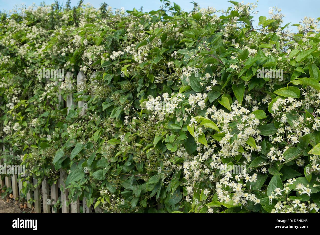 Wild clematis, clematis vitalba, - Stock Image