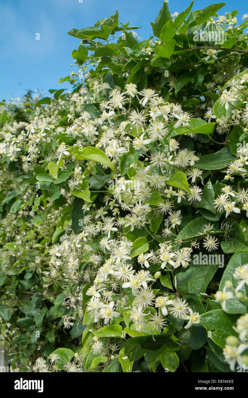 Wild clematis, clematis vitalba, Stock Photo