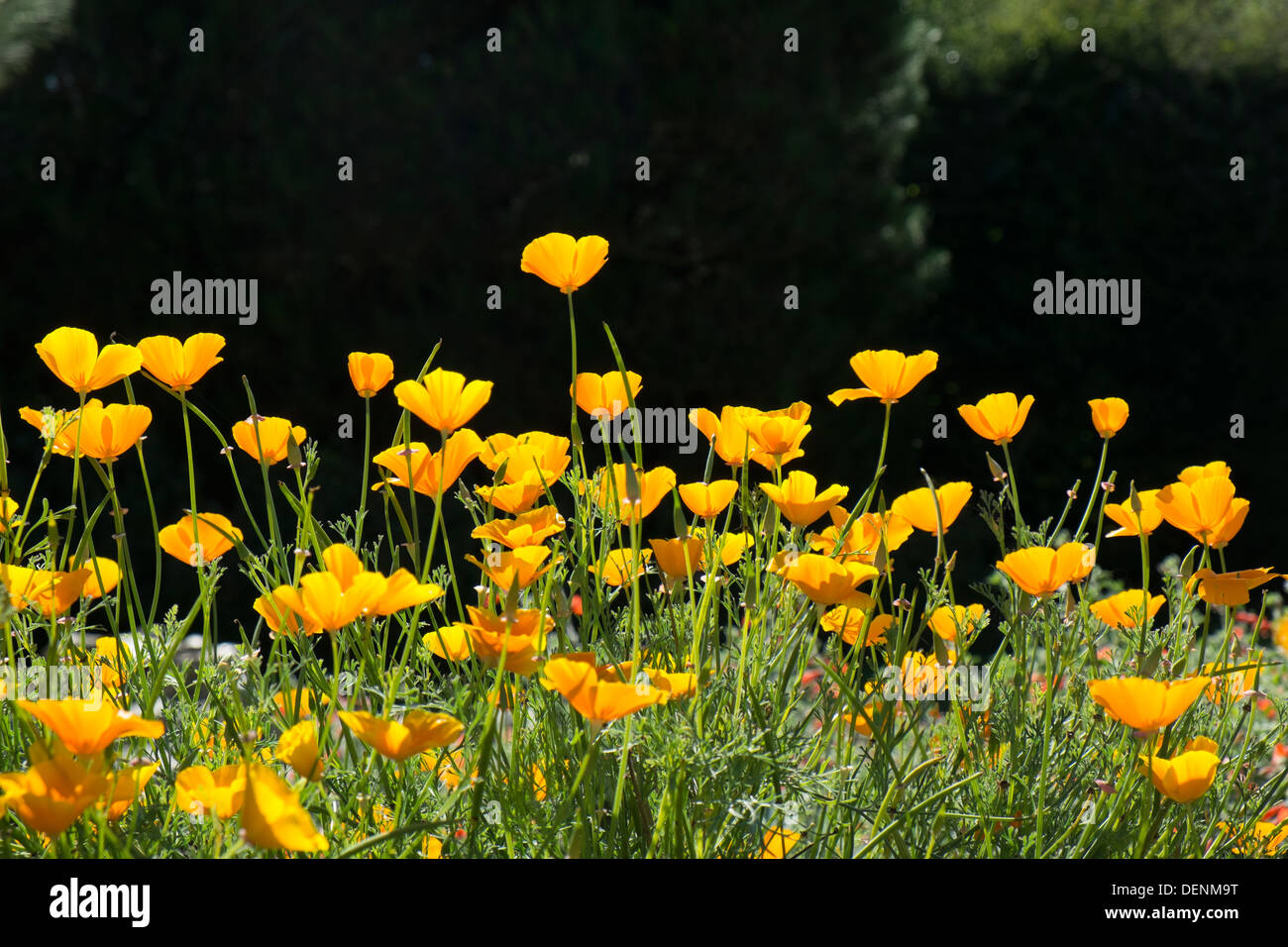 Eschscholzia californica, California poppy, backlit blooms in late summer. - Stock Image