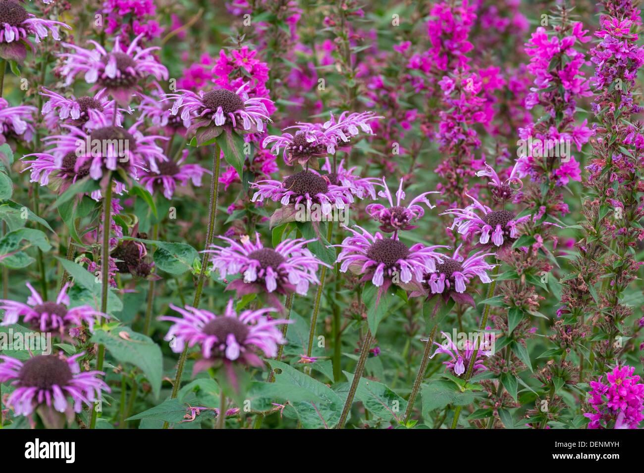 Monarda, Bergamot, Bee Balm, and Lythrum salicaria, Purple loosestrife in a cottage garden. - Stock Image
