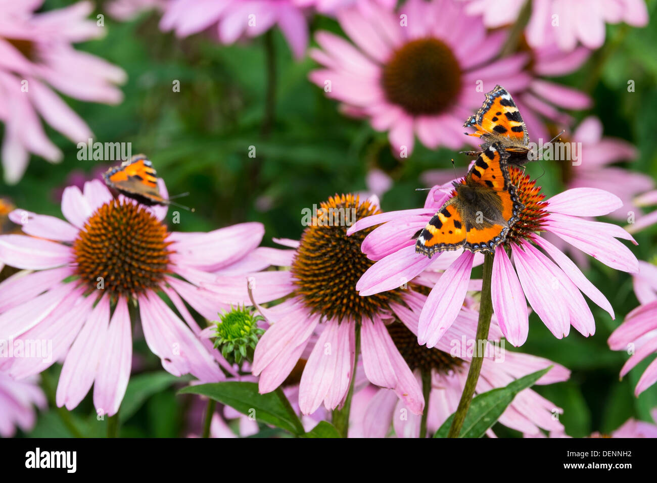 Small Tortoiseshell, Aglais urticae L., feeding on Echinacea purpurea, coneflower or purple coneflower - Stock Image