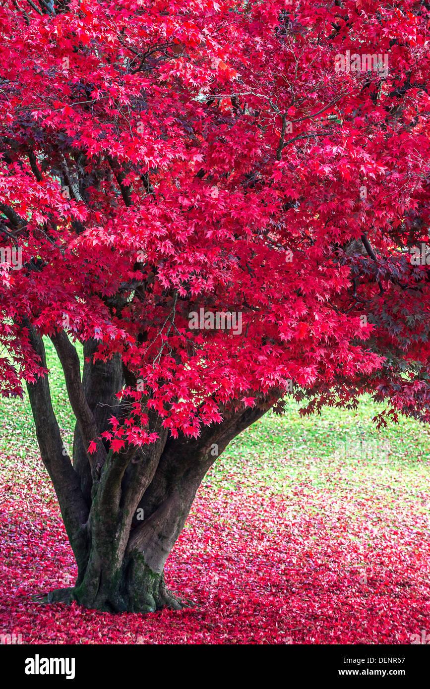 japanese maple,lake district; cumbria; england; uk; europe; Stock Photo