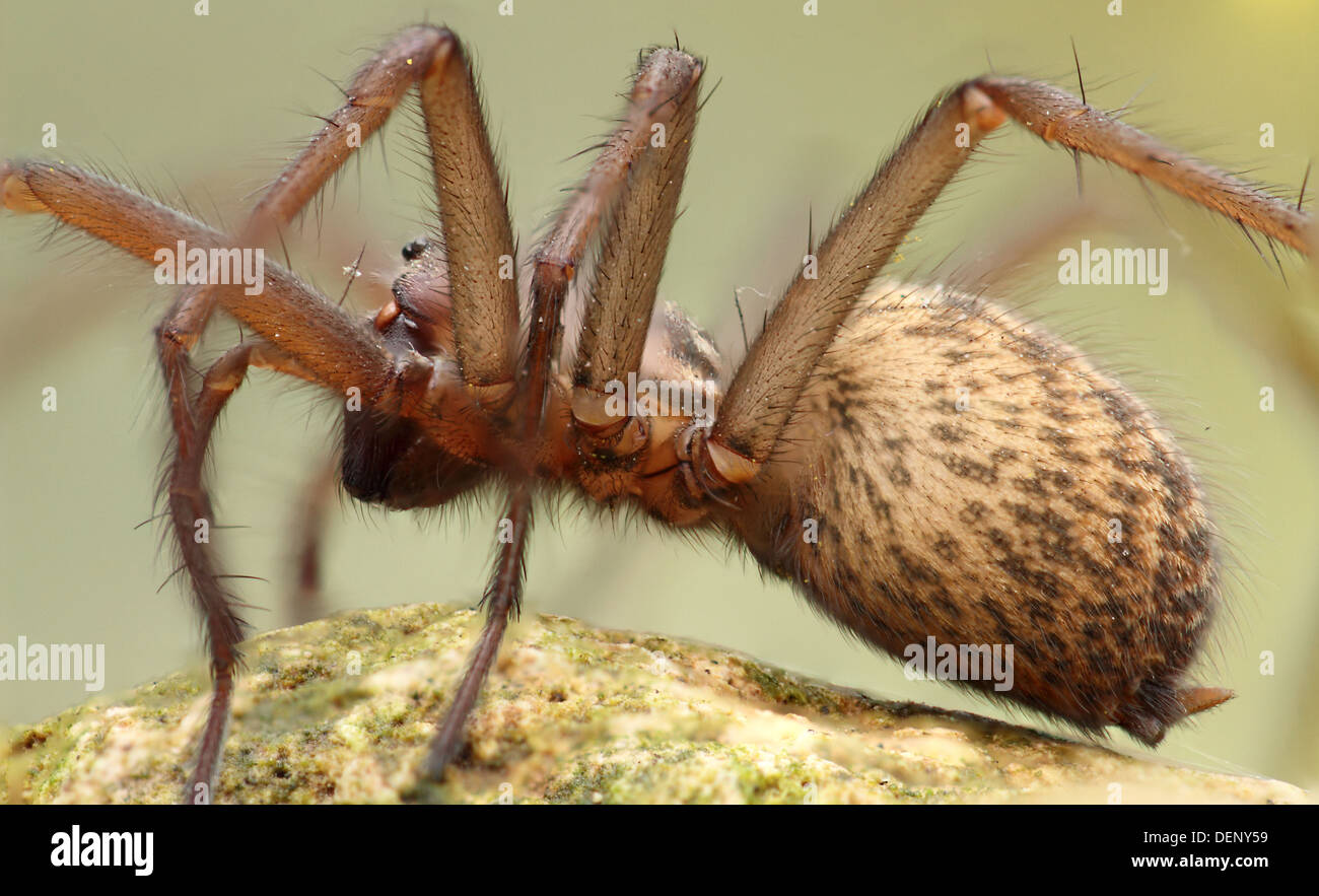 very close detailed view of  big spider UK - Stock Image