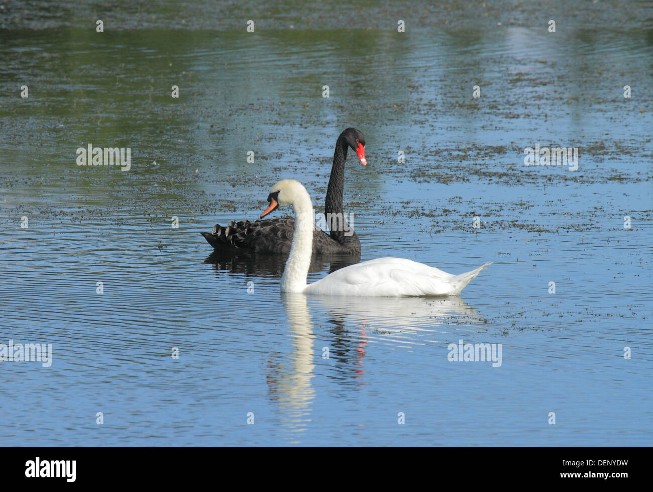 black and white in harmony concept swans - Stock Image
