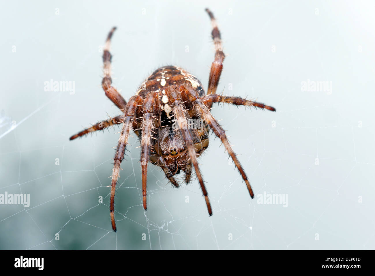 Spider - Araneus Diadematus, Orb weaver, garden spider in the net - Stock Image
