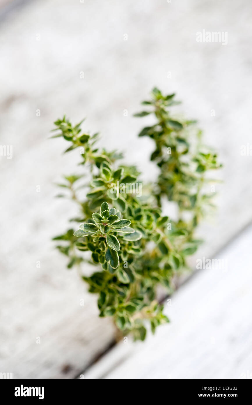 A sprig of fresh variegated thyme wedged in the crack between two white planks of wood. - Stock Image
