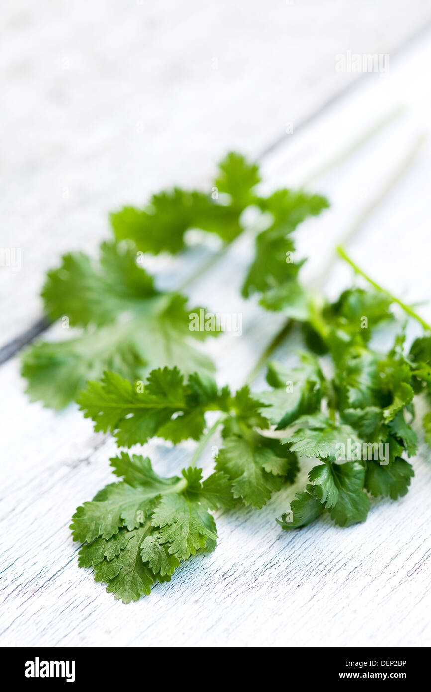 A sprig of fresh coriander on a white wood surface. - Stock Image