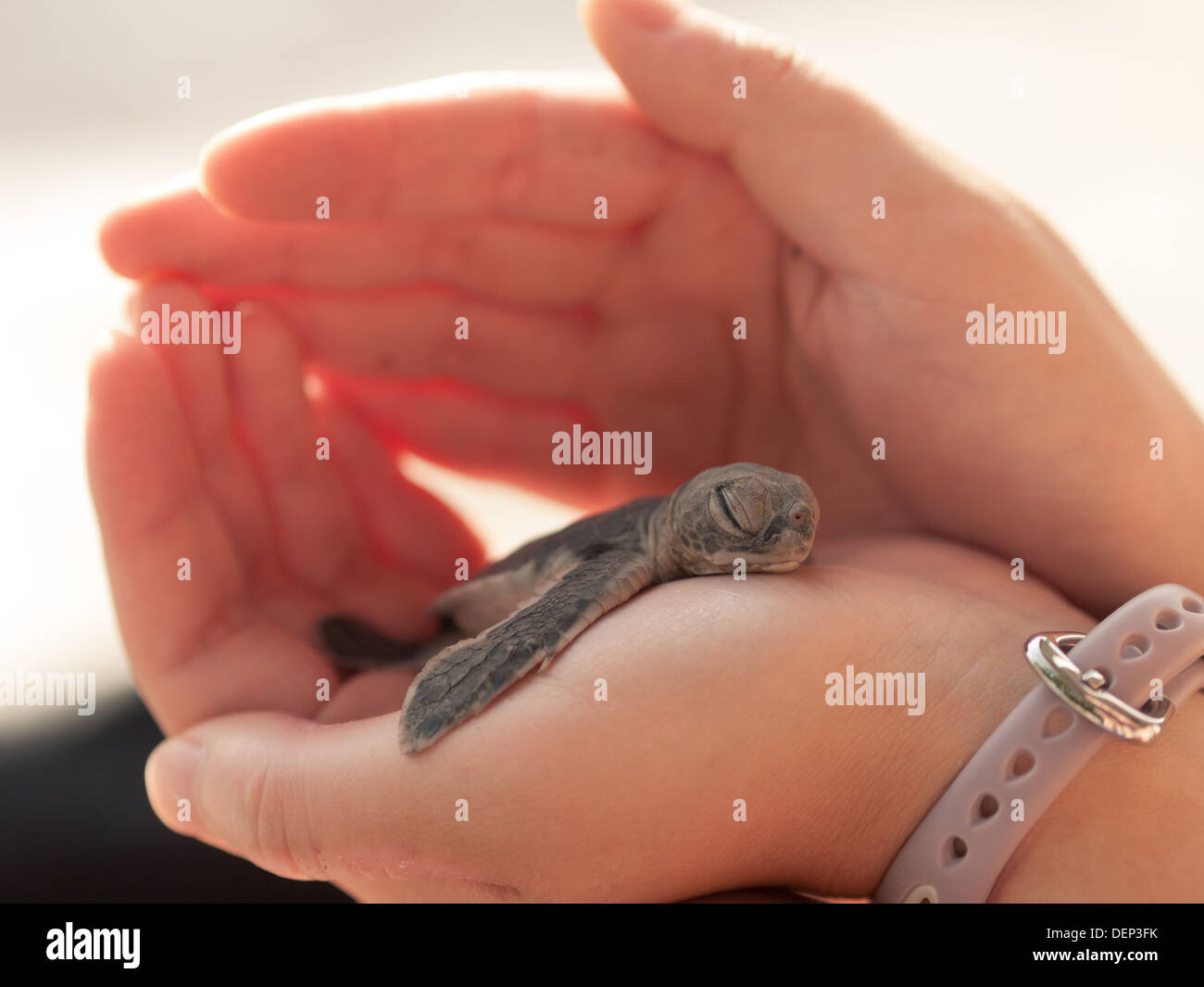 A cute Green sea turtle (Chelonia mydas) hatchling takes a nap before a long journey out to sea. Bay Canh Island, Vietnam. - Stock Image