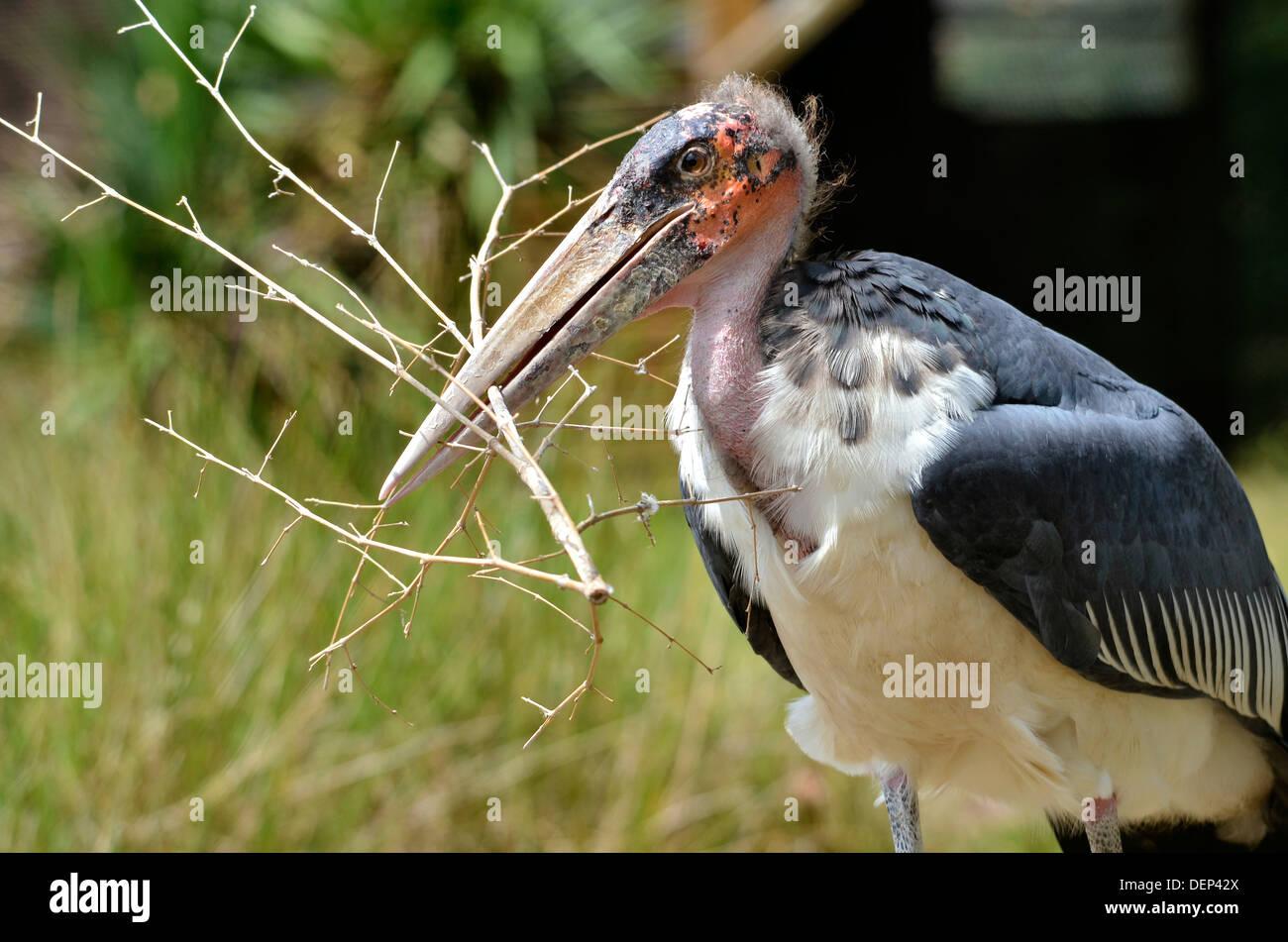 Closeup of a marabou (Leptoptilos crumeniferus) holding a twig in its beak - Stock Image