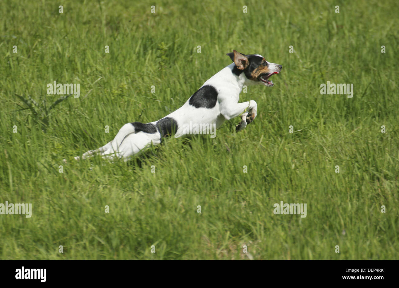 Dog running. Danish Swedish Farmdog. Stock Photo