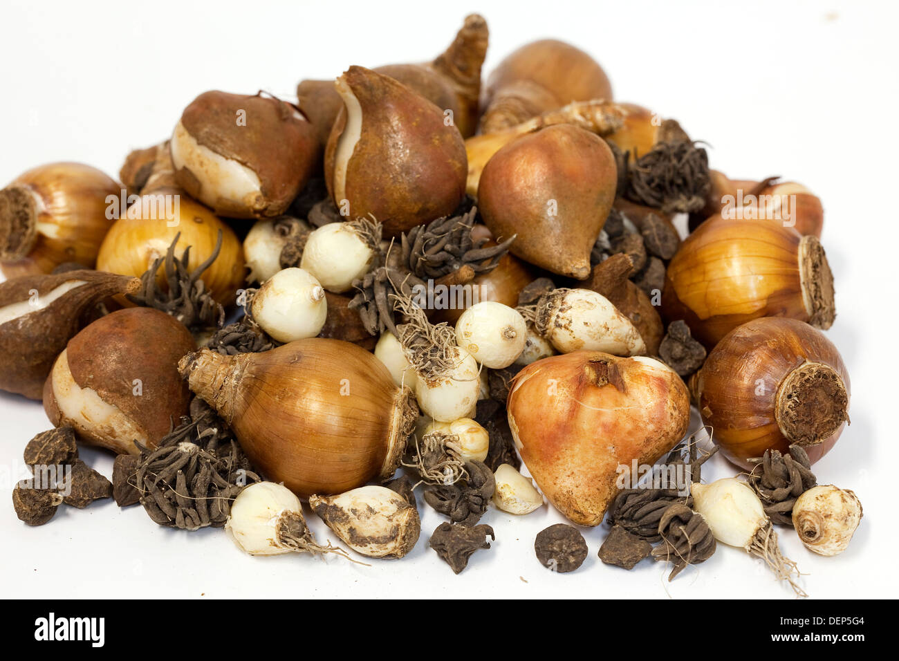 A pile of various dried bulibs for hyacinths, ranunculus, jonquils, tulips amongst others, all on a white background. Stock Photo