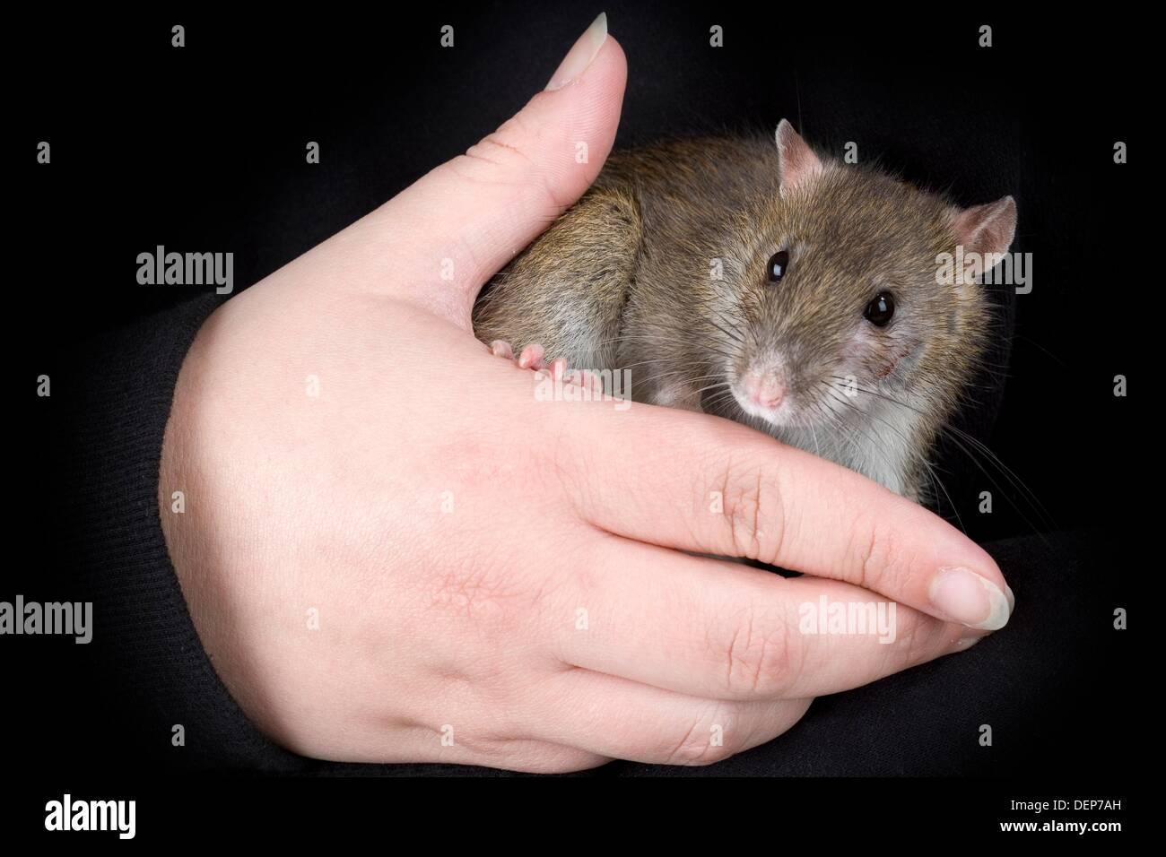 Portrait Sewer Rat Rattus norvegicus domesticated - Stock Image