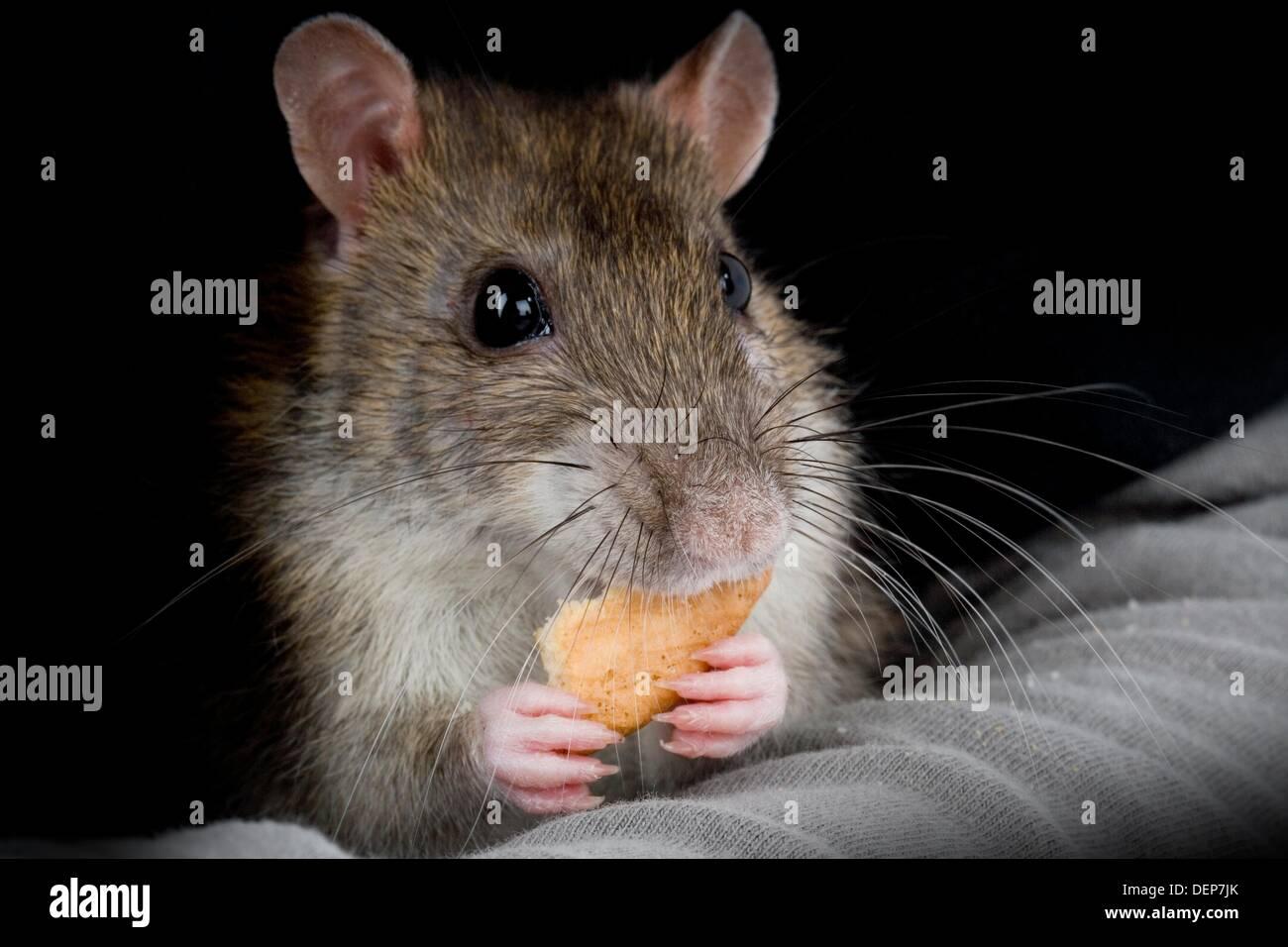 Domesticated Rat Sewer Portrait, Rattus norvegicus - Stock Image