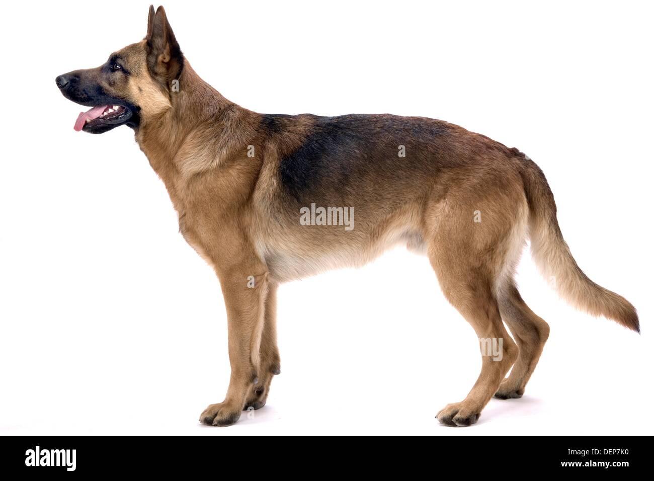 Profile portrait of German Shepherd Dog, Full Body Stock ...
