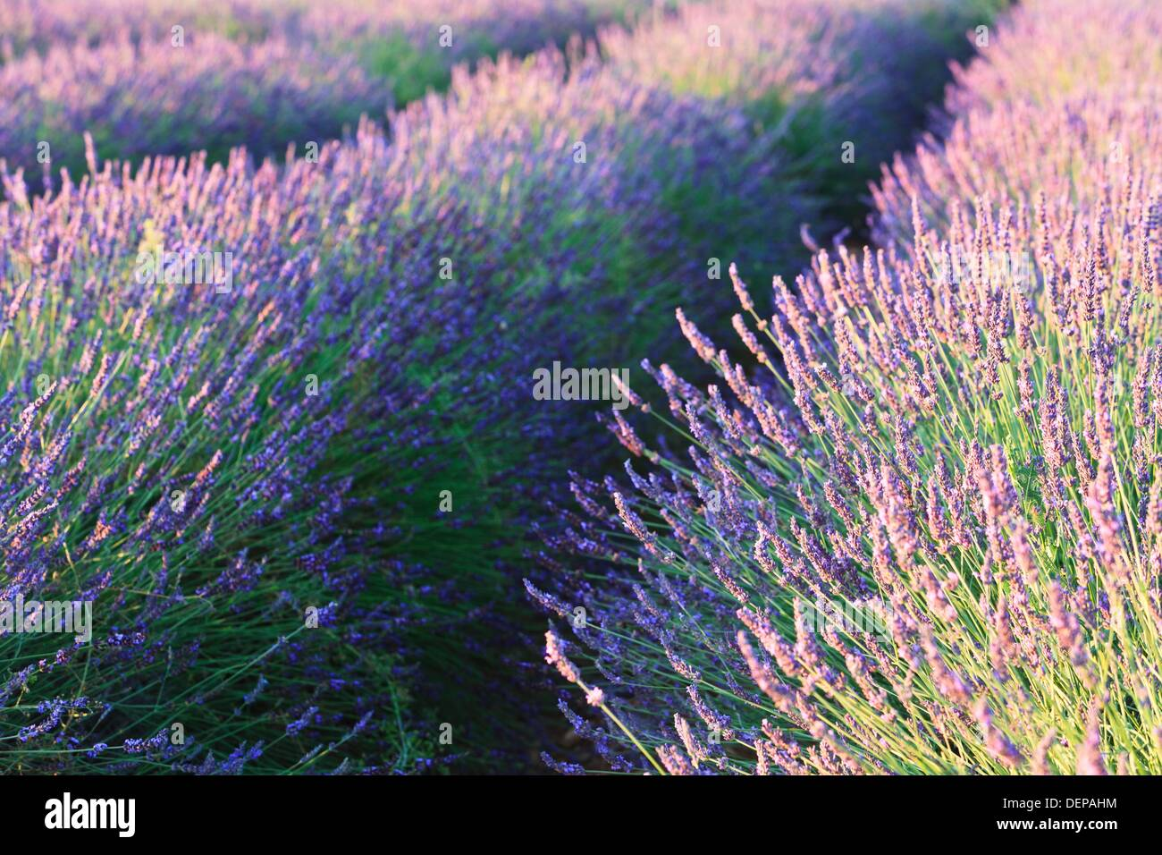 Close up of lavender field in Provence, France, Europe - Stock Image