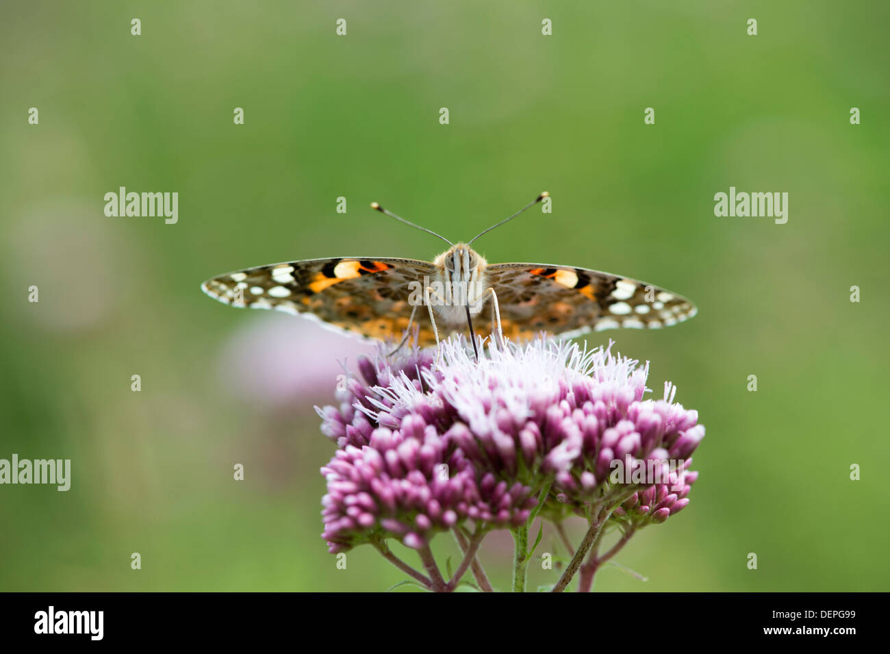 Painted lady butterfly (Cynthia cardui) - UK Stock Photo