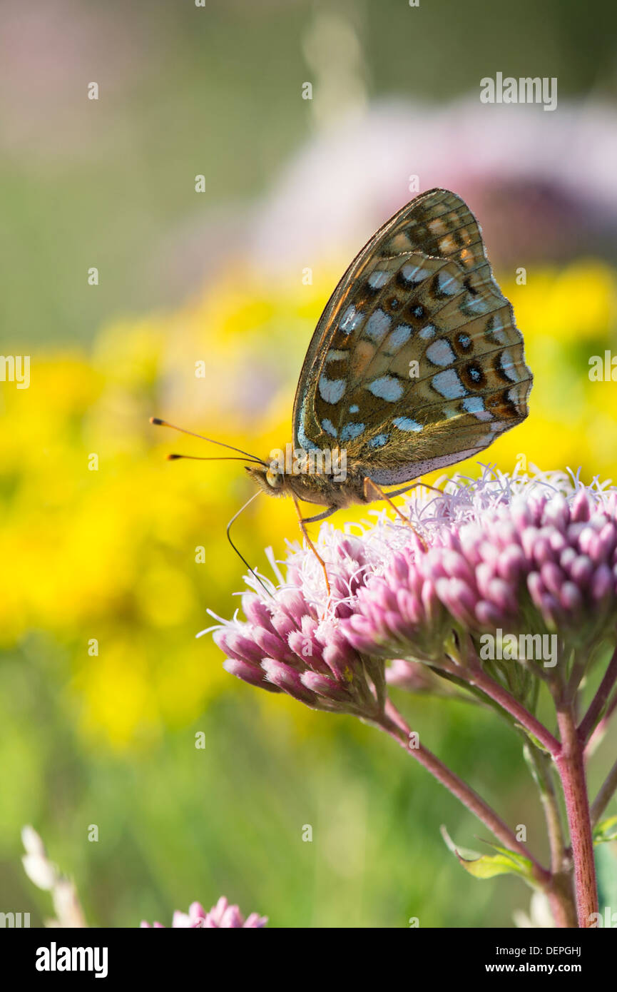 High brown fritillary (Argynnis adippe) – UK - Stock Image