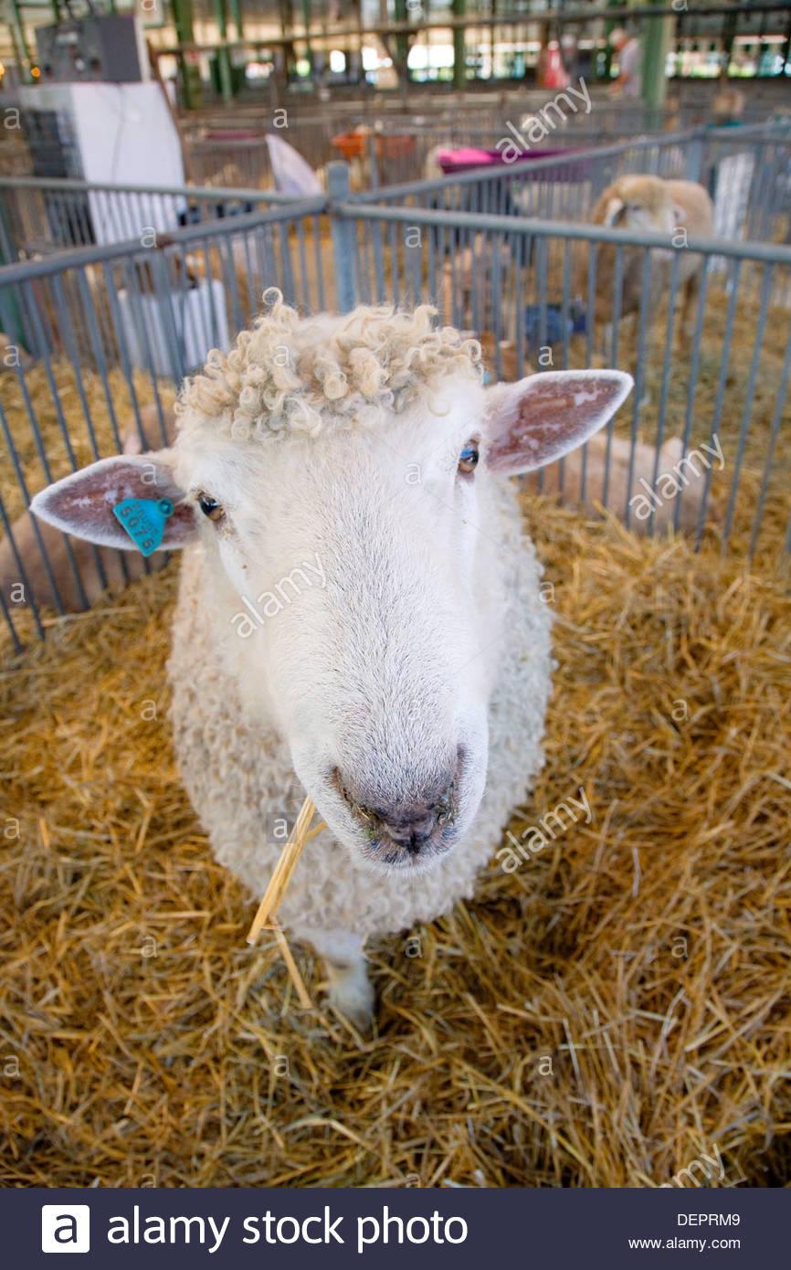 Sheep at Illinois State Fair. USA - Stock Image