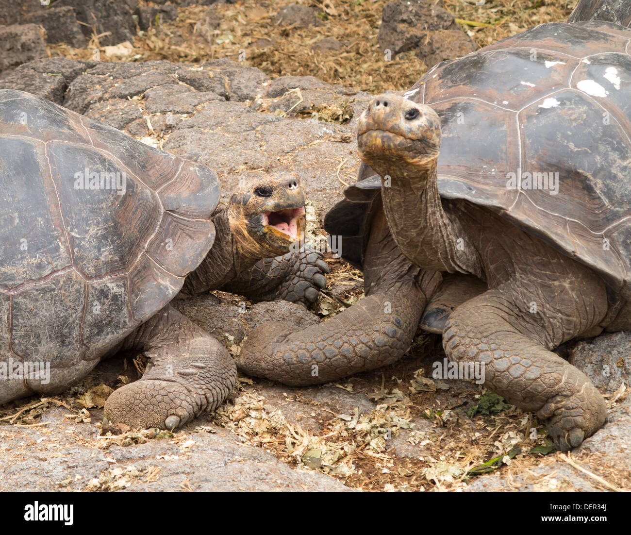Pair of large giant turtles on the Galapagos Islands - Stock Image