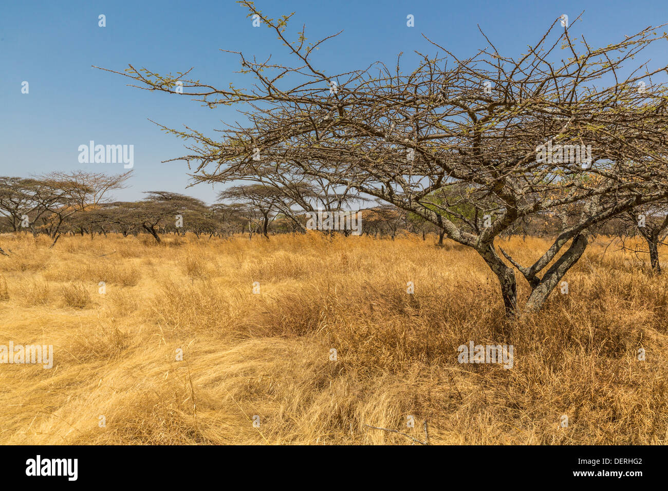 Acacia trees in the dry savannah grasslands in Abjatta-shalla national park, Ethiopia - Stock Image