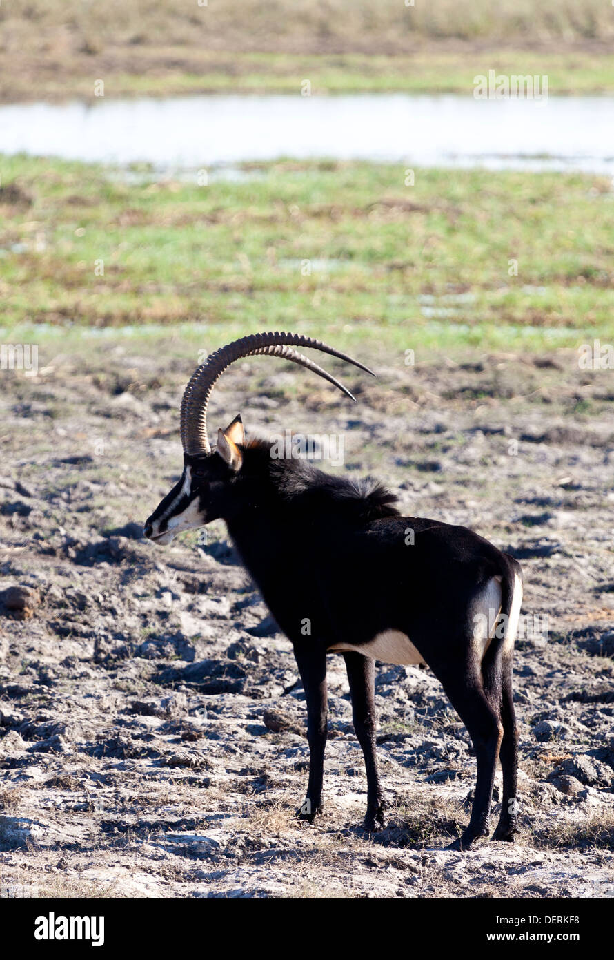 A sable antelope at the edge of a watering hole in Chobe national park, Botswana Stock Photo