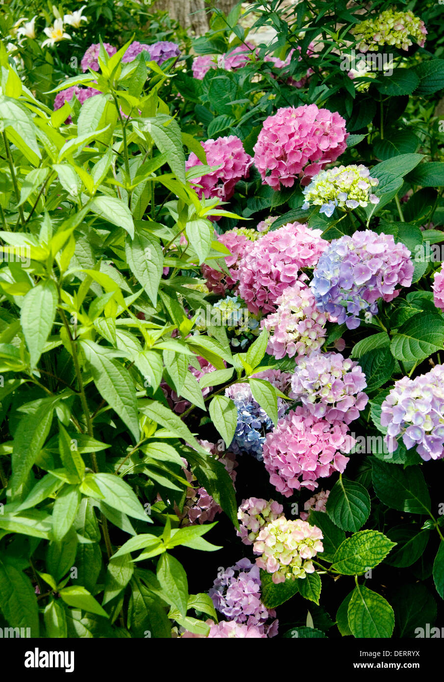 photo of hydrangeas in community garden in New York - Stock Image