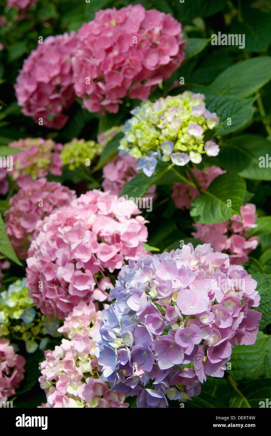 Hydrangeas in a public garden in the East Village neighborhood of New York City. - Stock Image