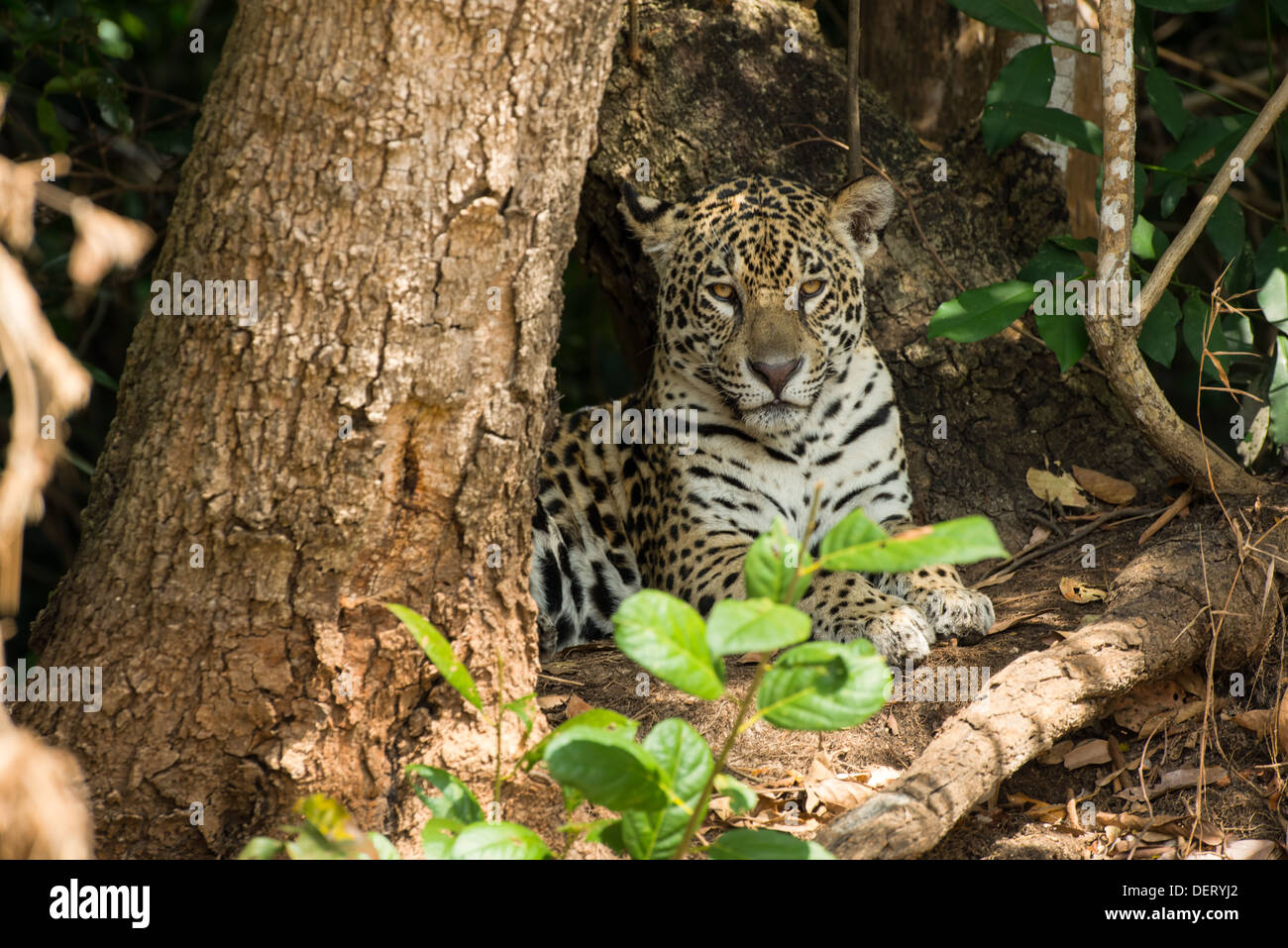 Jaguar resting on the riverbank in the Pantanal, Brazil. - Stock Image
