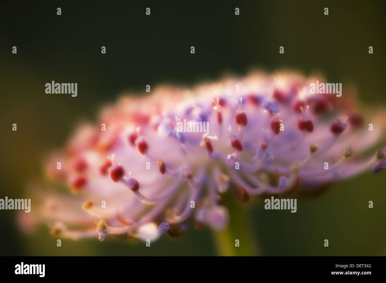 Blue Lace Flower. Didiscus coerulea. July 2005, Maryland, USA Stock Photo