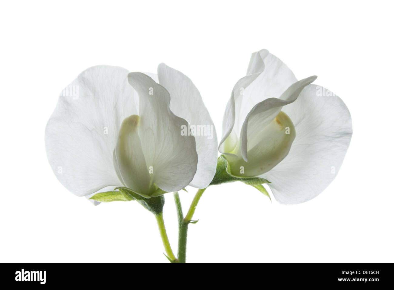 Sweet Pea Flowers Cut Out Stock Images Pictures Alamy