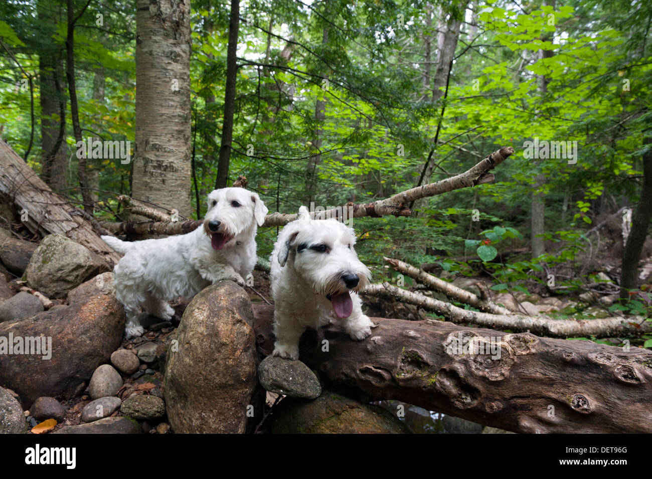Two Sealyham Terriers in the forest. - Stock Image